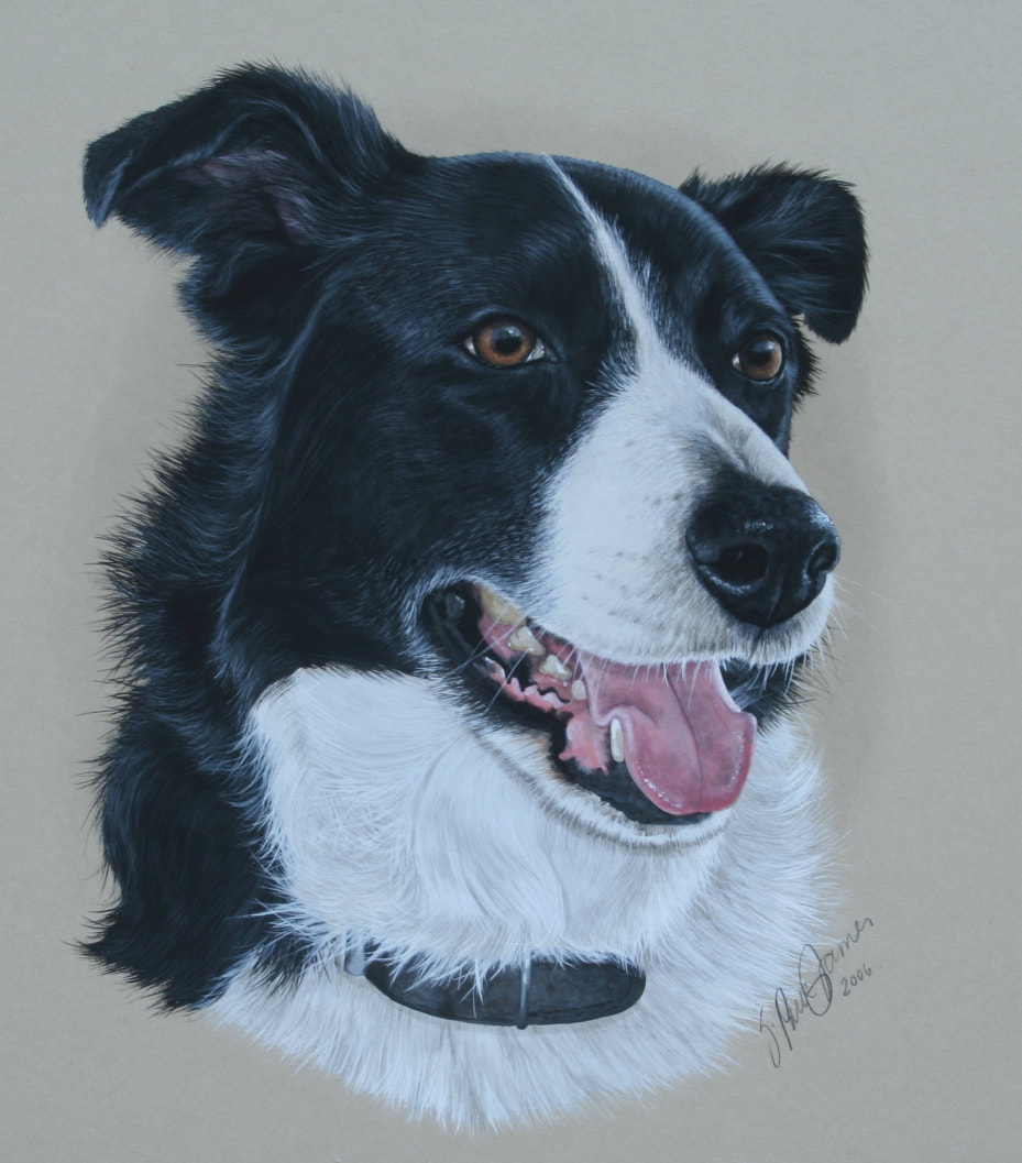 Picture of Black & White Collie dog